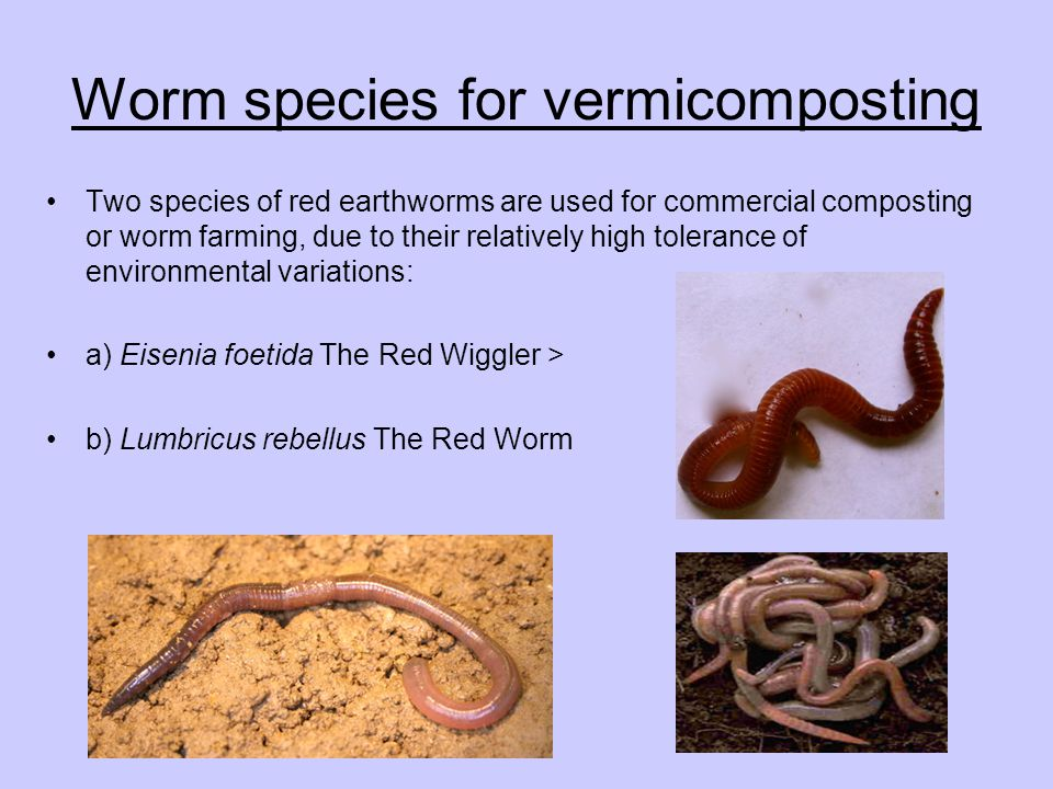 Worm species for vermicomposting