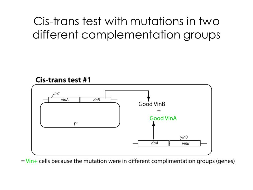 Cis-trans test with mutations in two different complementation groups