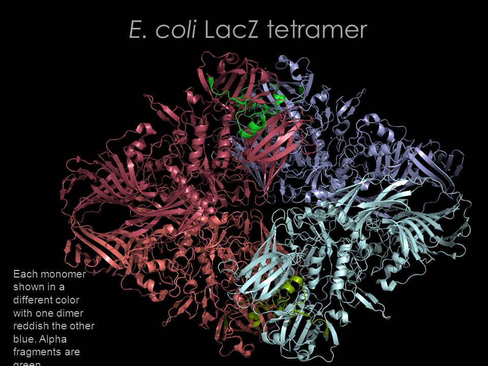 E. coli LacZ tetramer Each monomer shown in a different color