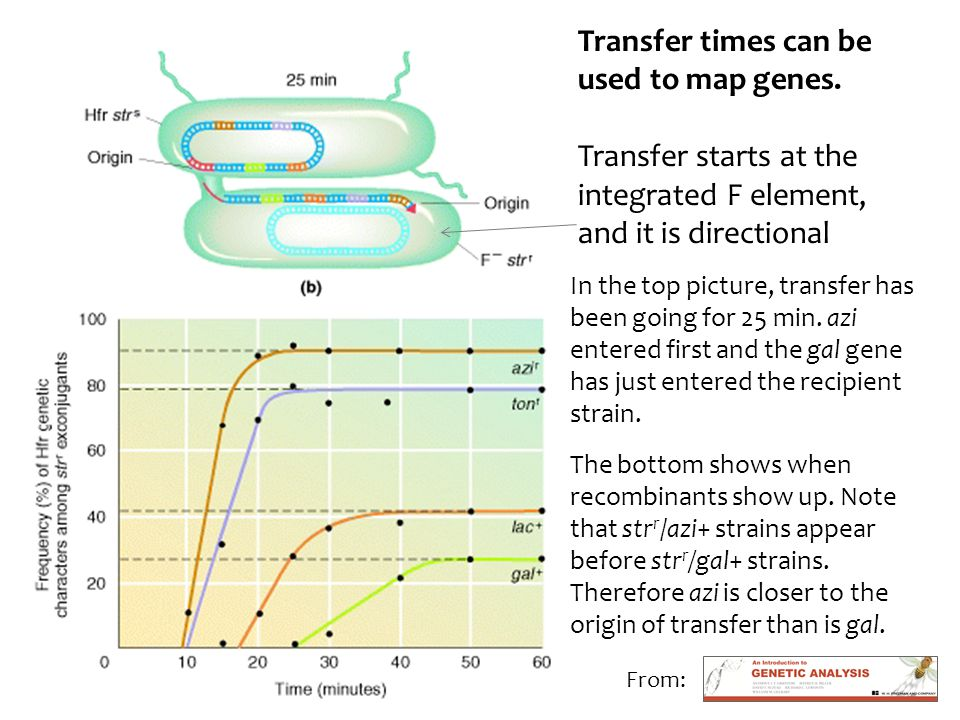 Transfer times can be used to map genes.
