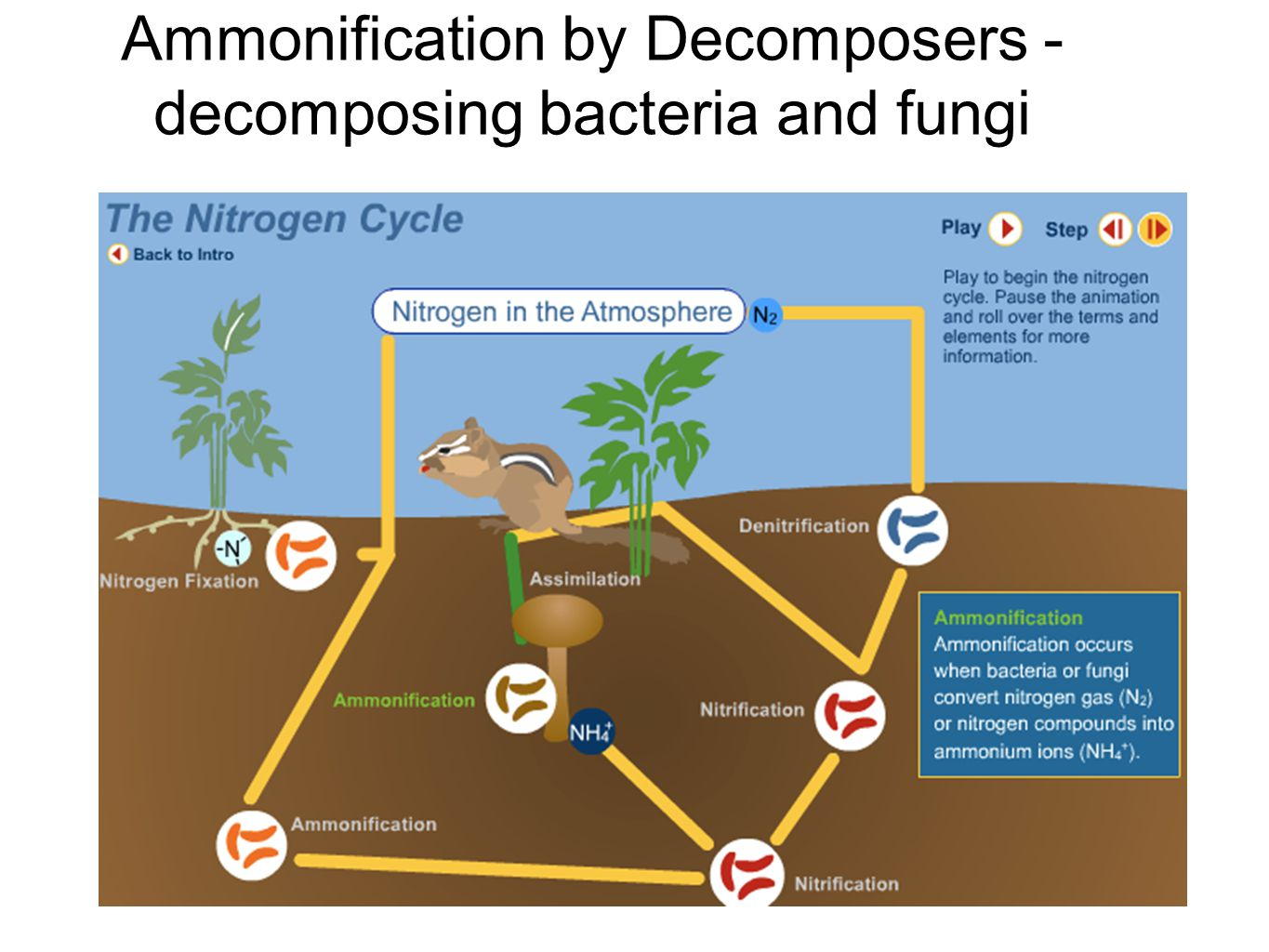 Ammonification by Decomposers - decomposing bacteria and fungi