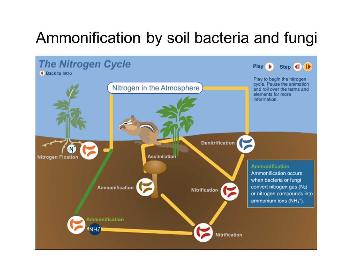 Ammonification by soil bacteria and fungi