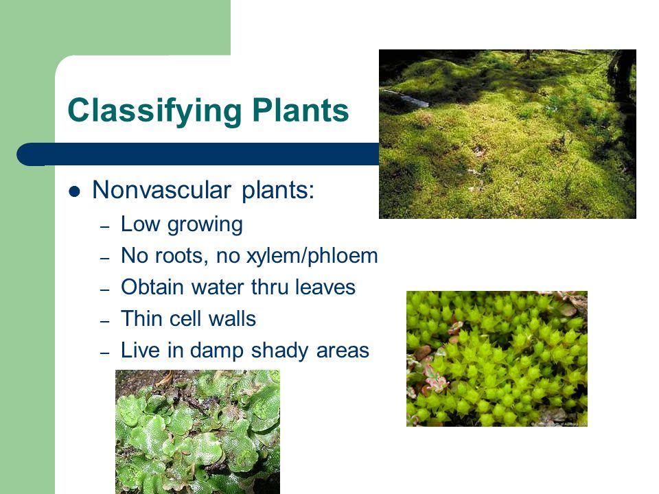 Classifying Plants Nonvascular plants: Low growing