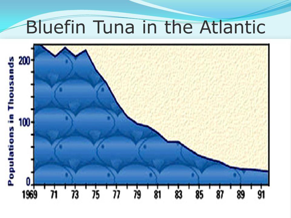 Bluefin Tuna in the Atlantic