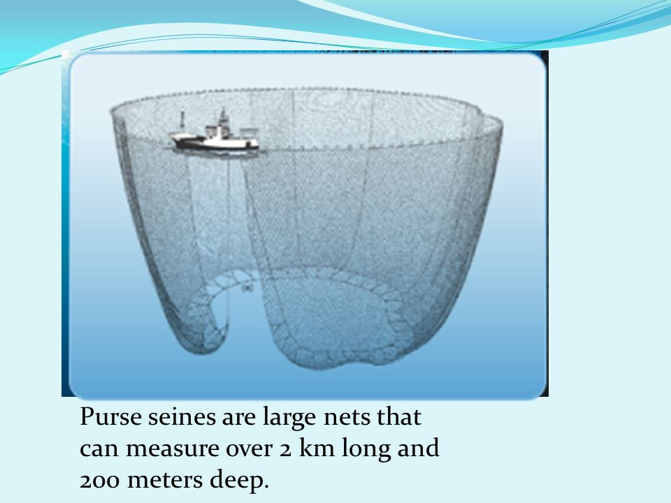 Purse seines are large nets that can measure over 2 km long and 200 meters deep.