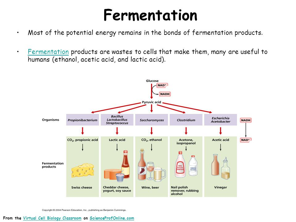 Fermentation Most of the potential energy remains in the bonds of fermentation products.