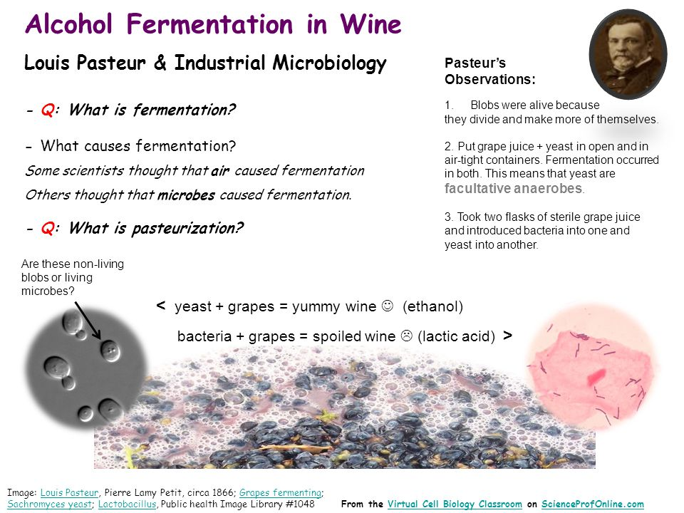 Alcohol Fermentation in Wine Louis Pasteur & Industrial Microbiology