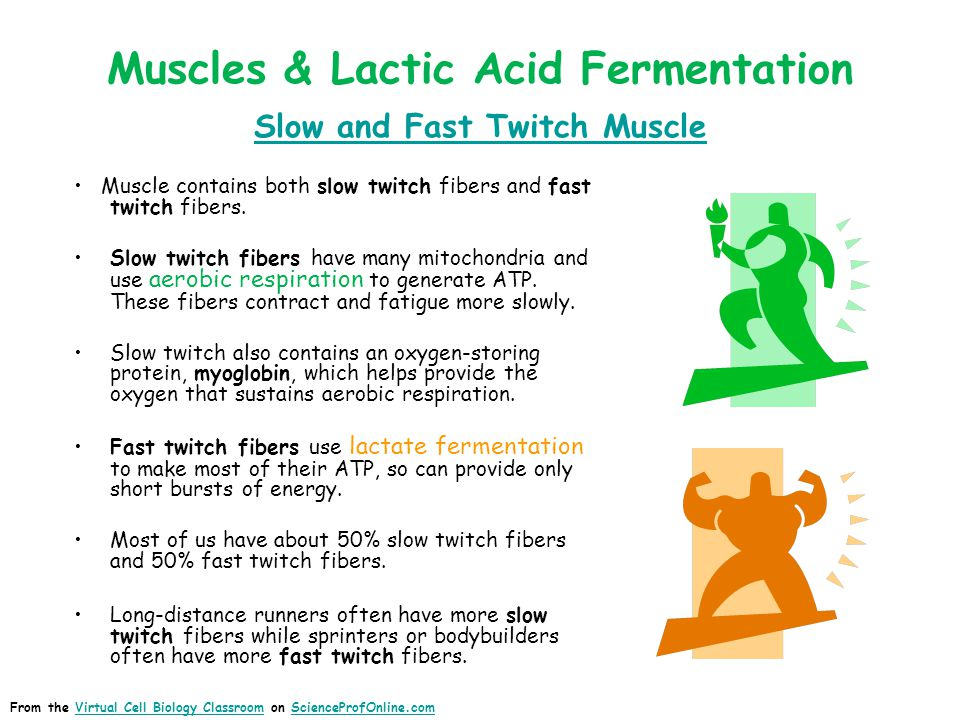 Muscles & Lactic Acid Fermentation Slow and Fast Twitch Muscle