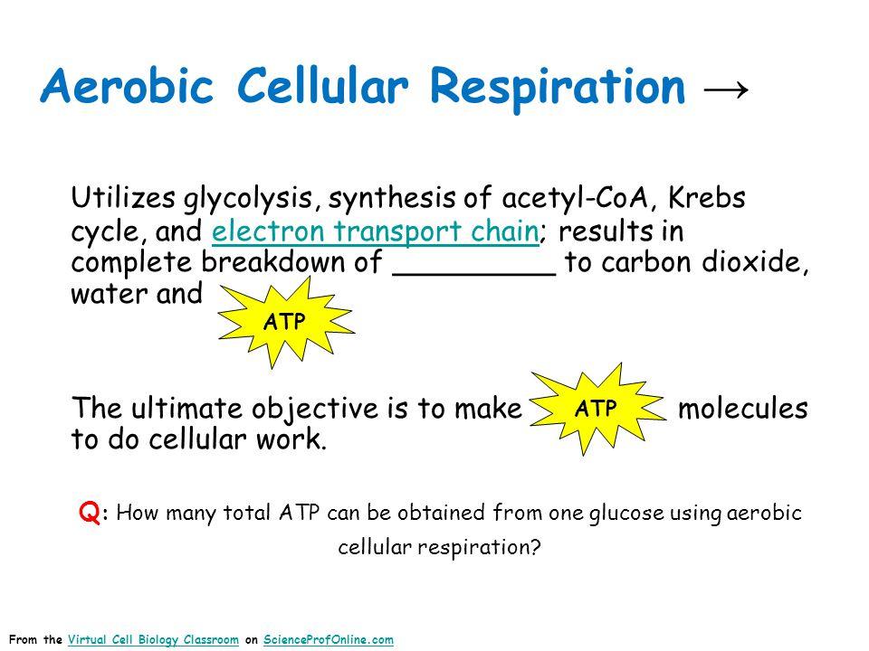 Aerobic Cellular Respiration →