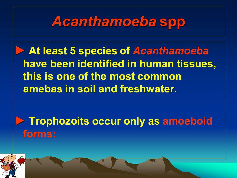 Acanthamoeba spp