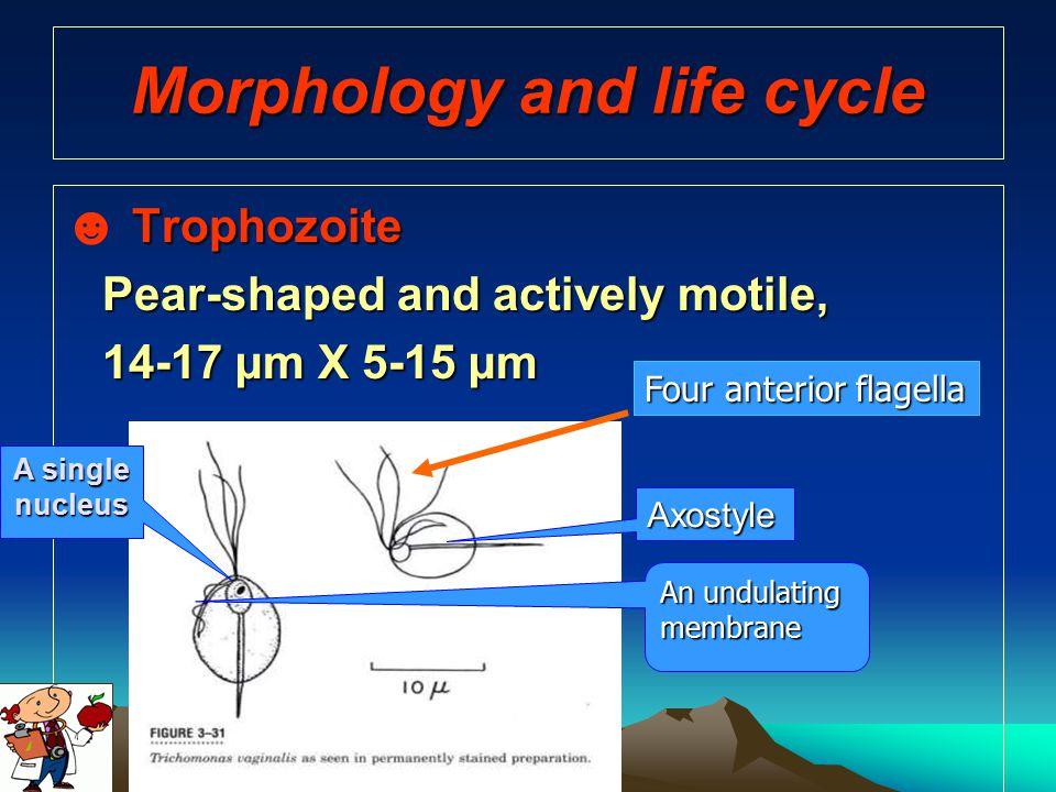 Morphology and life cycle
