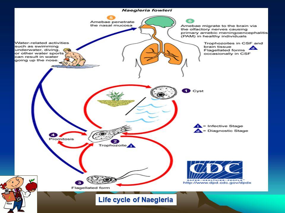 Life cycle of Naegleria