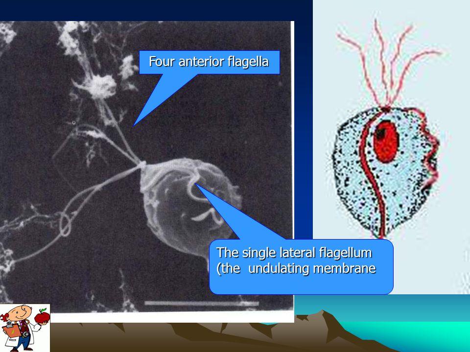Four anterior flagella