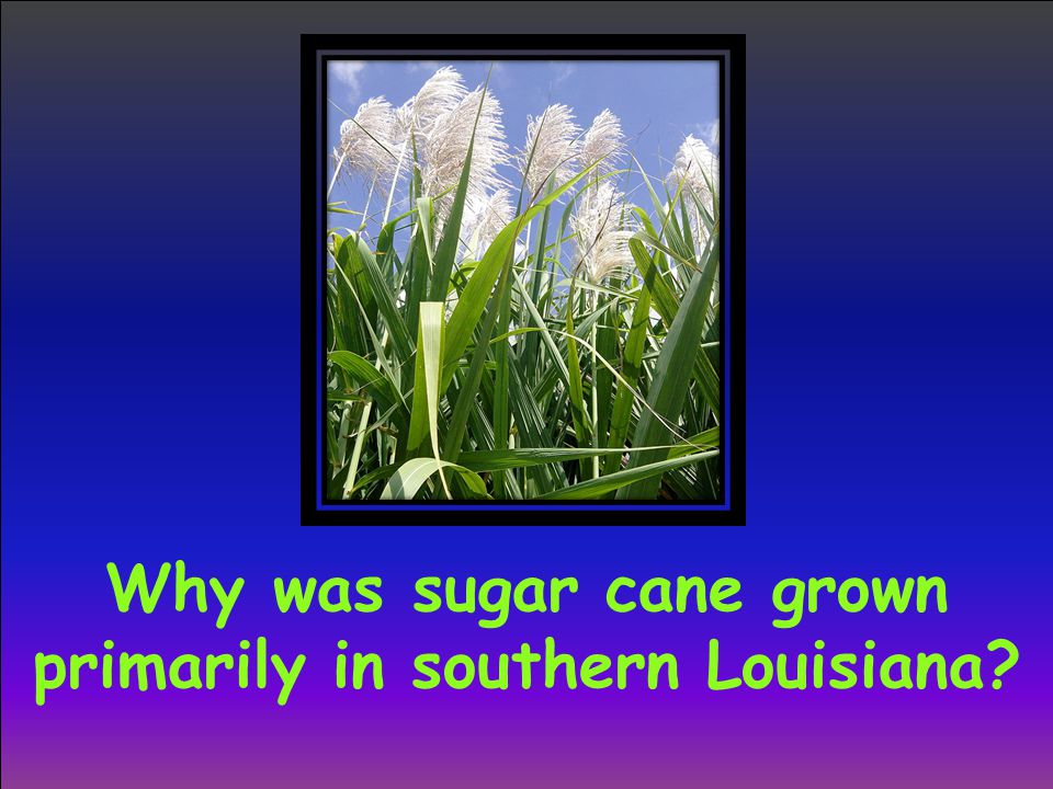 Why was sugar cane grown primarily in southern Louisiana