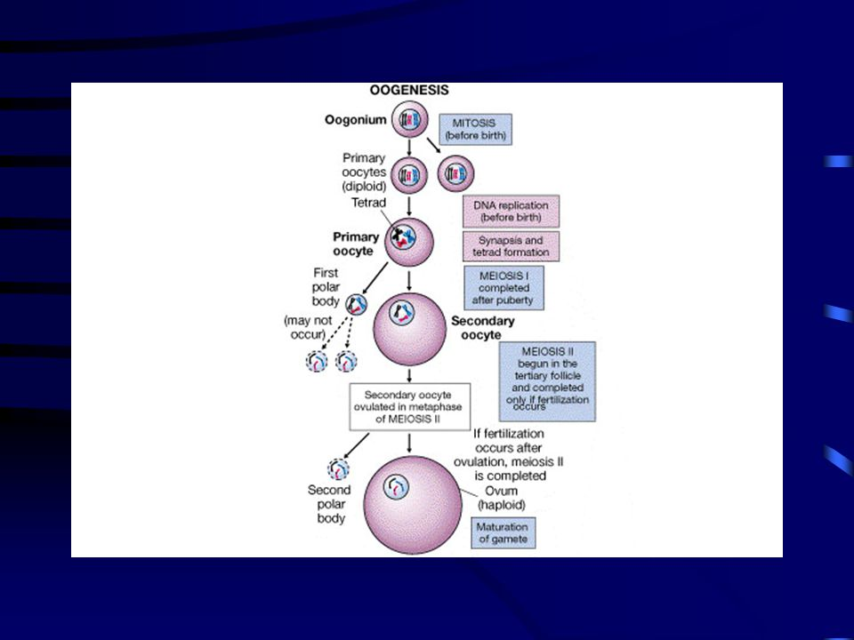 Figure 27-13 FG27_13.JPG Title: Meiosis and Ovum Production