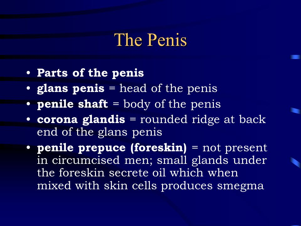 The Penis Parts of the penis glans penis = head of the penis