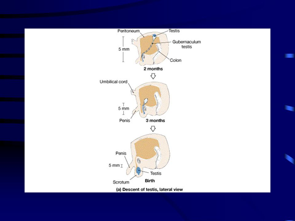 Figure 27-02a FG27_02A.JPG. Title: The Male Reproductive System, Part II.