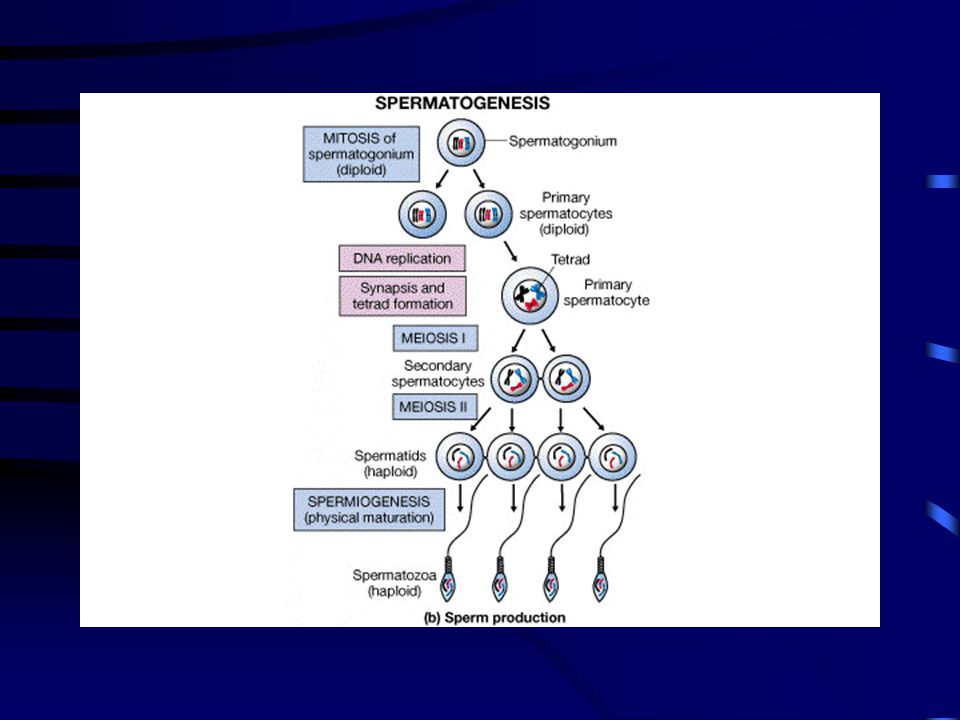 Figure 27-05b FG27_05B.JPG Title: The Seminiferous Tubules