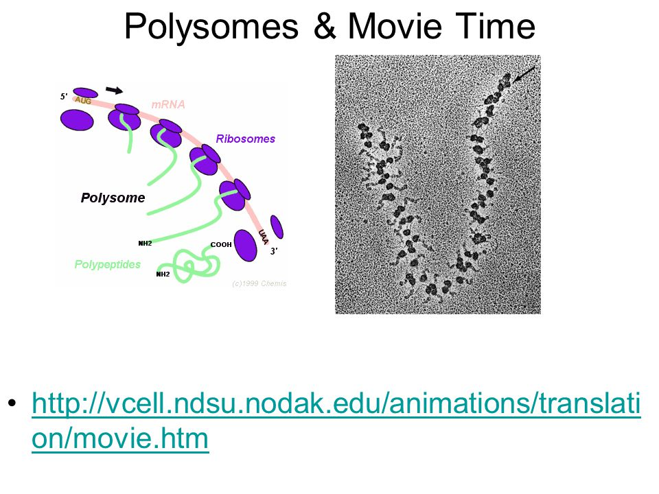 Polysomes & Movie Time http://vcell.ndsu.nodak.edu/animations/translation/movie.htm
