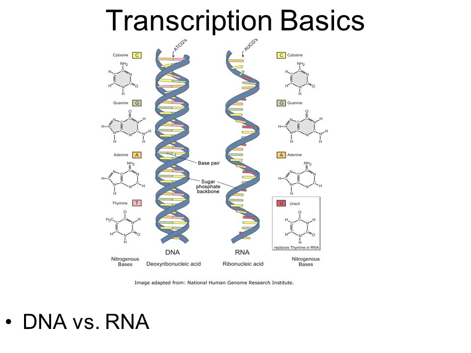 Transcription Basics DNA vs. RNA