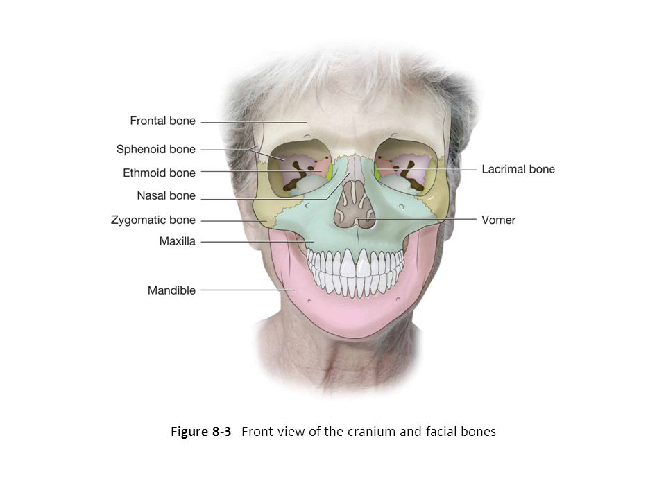 Figure 8-3 Front view of the cranium and facial bones