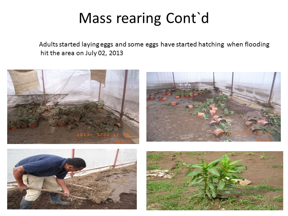 Mass rearing Cont`d Adults started laying eggs and some eggs have started hatching when flooding.