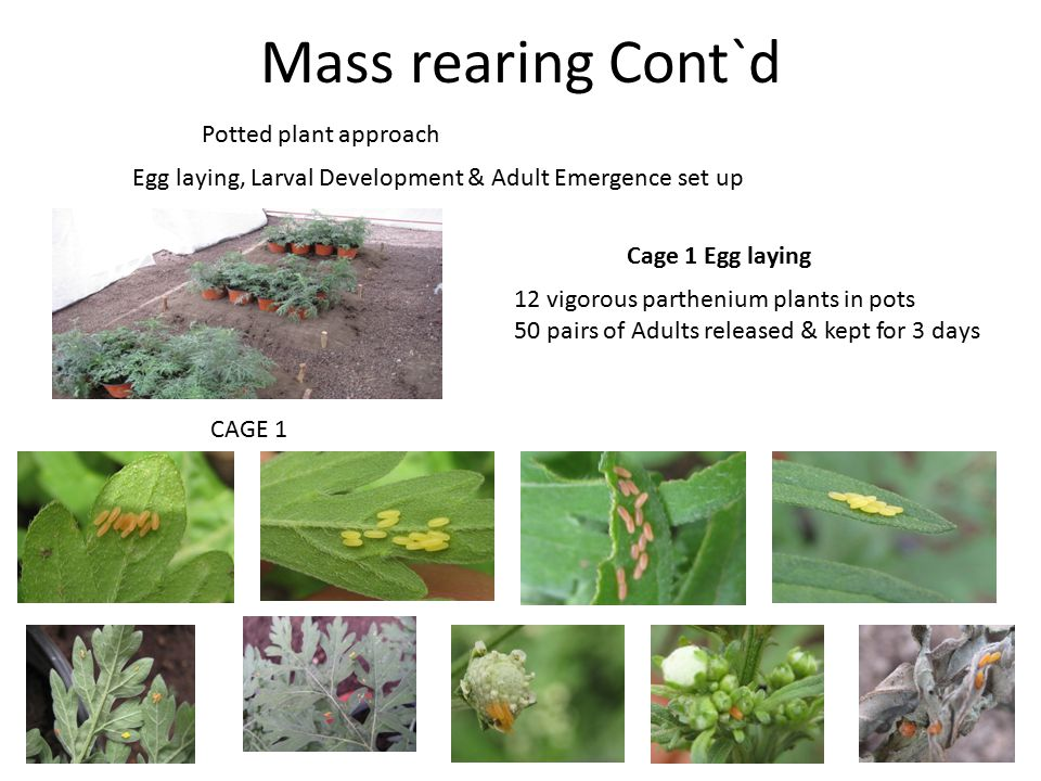 Mass rearing Cont`d Potted plant approach