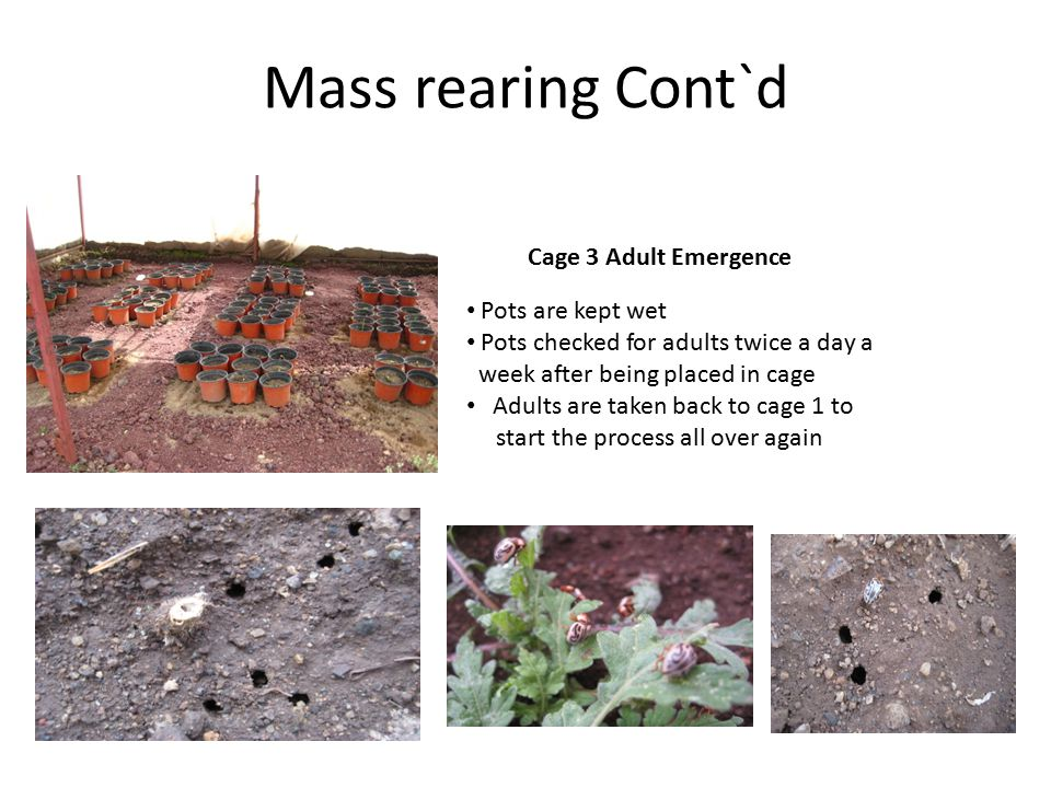 Mass rearing Cont`d Cage 3 Adult Emergence Pots are kept wet