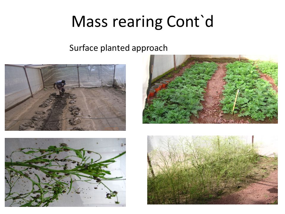 Mass rearing Cont`d Surface planted approach