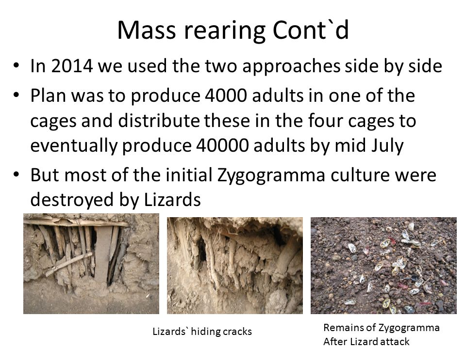 Mass rearing Cont`d In 2014 we used the two approaches side by side
