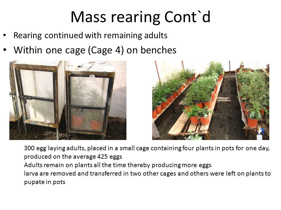 Mass rearing Cont`d Within one cage (Cage 4) on benches
