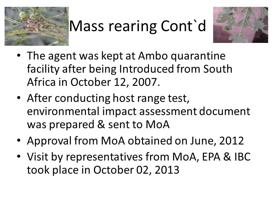 Mass rearing Cont`d The agent was kept at Ambo quarantine facility after being Introduced from South Africa in October 12, 2007.