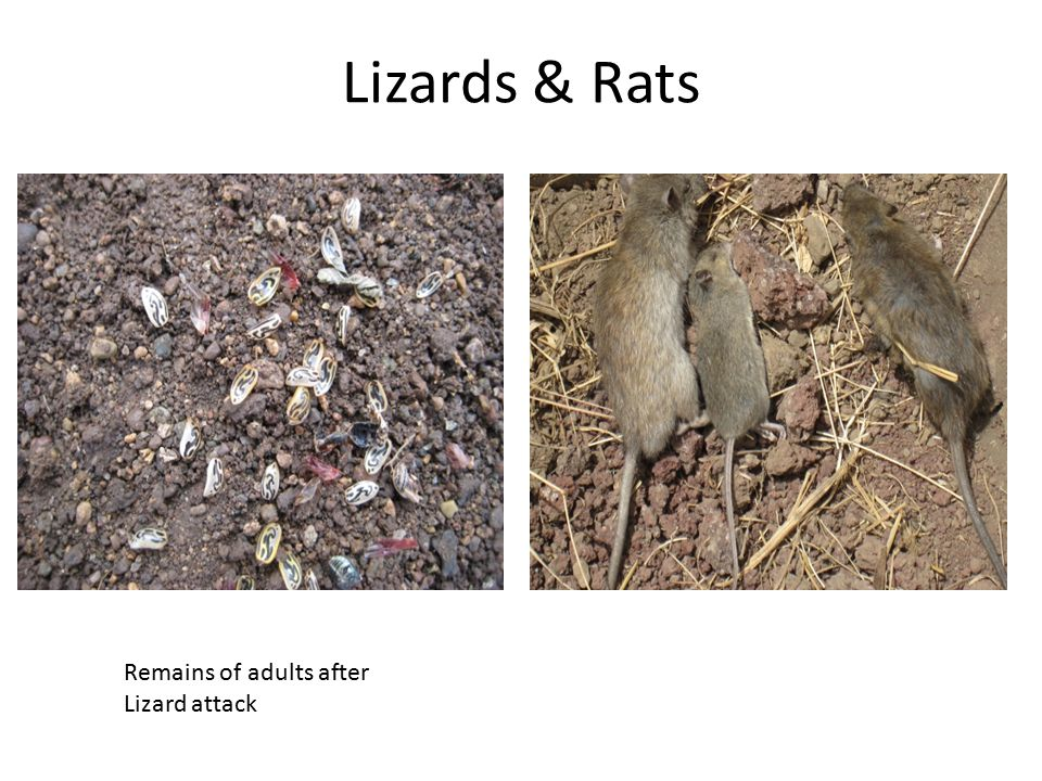 Lizards & Rats Remains of adults after Lizard attack