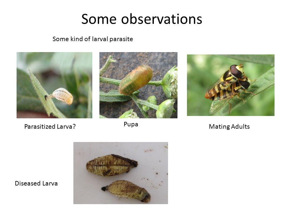 Some observations Some kind of larval parasite Pupa Parasitized Larva