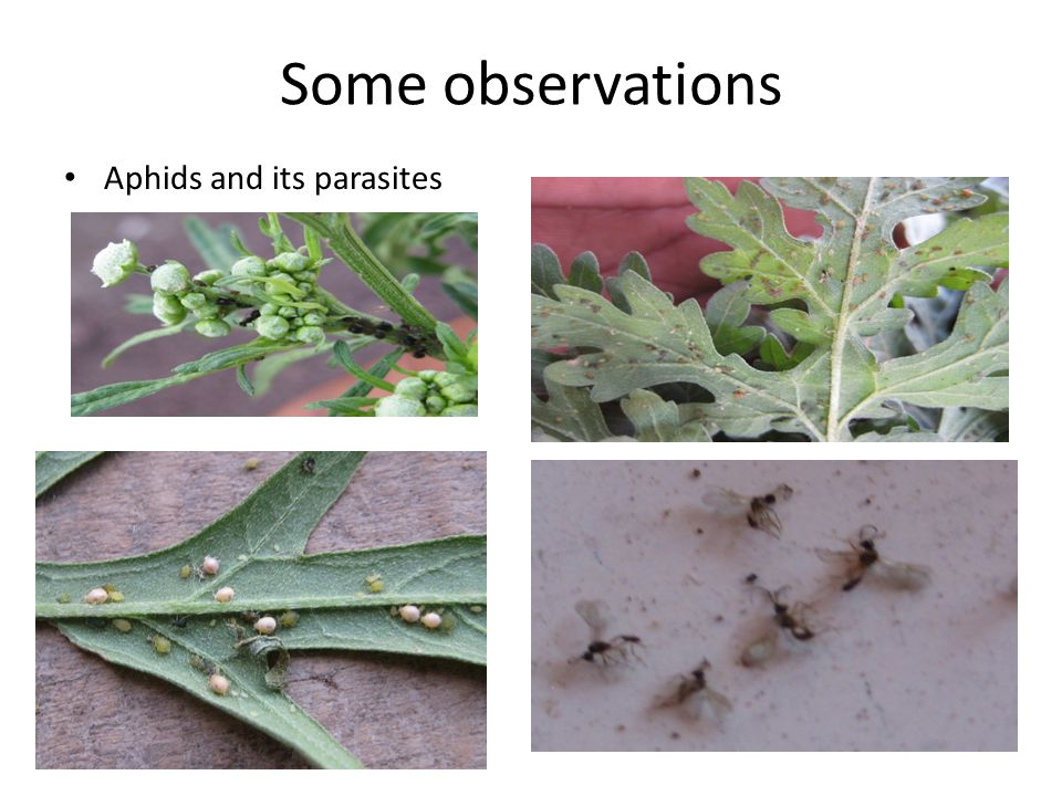 Some observations Aphids and its parasites