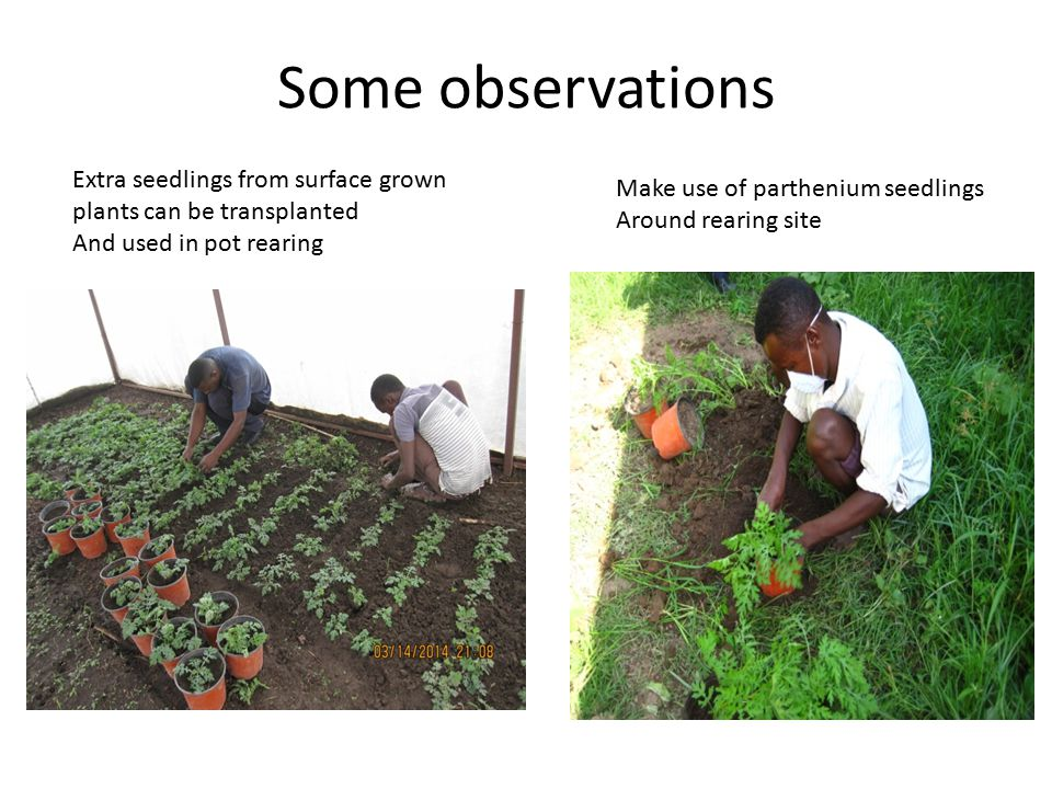 Some observations Extra seedlings from surface grown