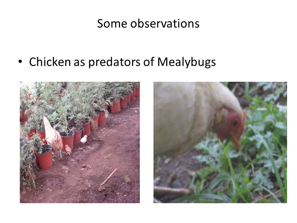 Some observations Chicken as predators of Mealybugs