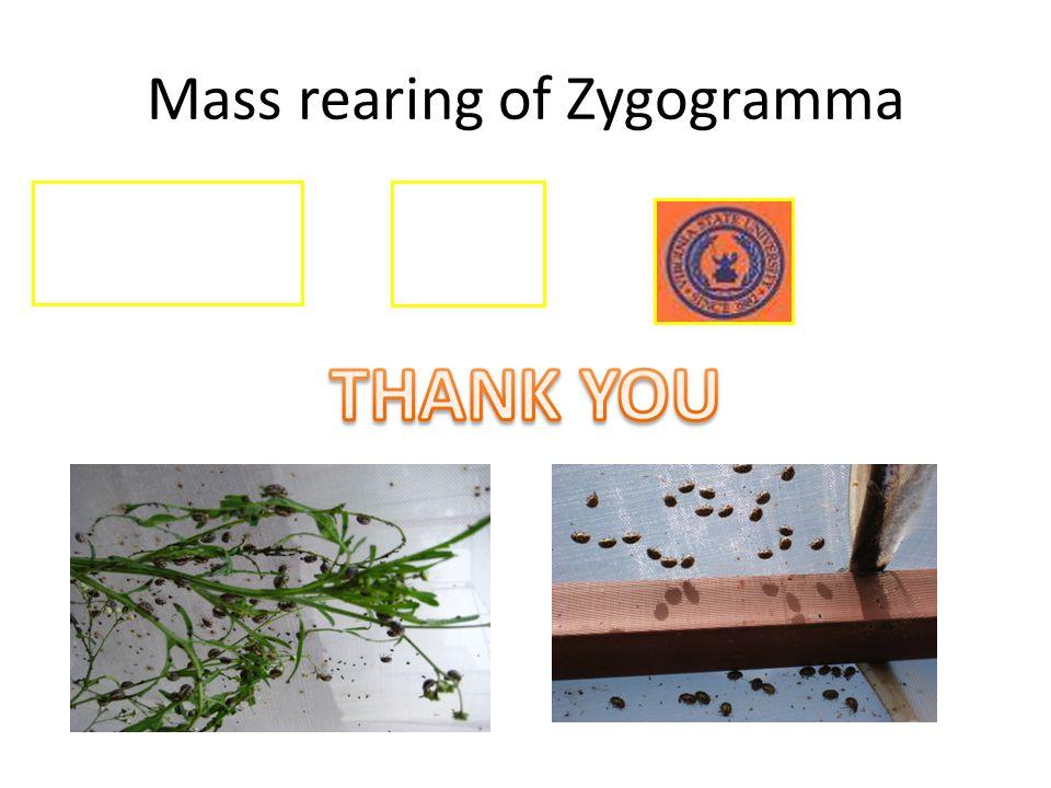 Mass rearing of Zygogramma