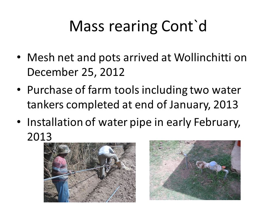 Mass rearing Cont`d Mesh net and pots arrived at Wollinchitti on December 25, 2012.