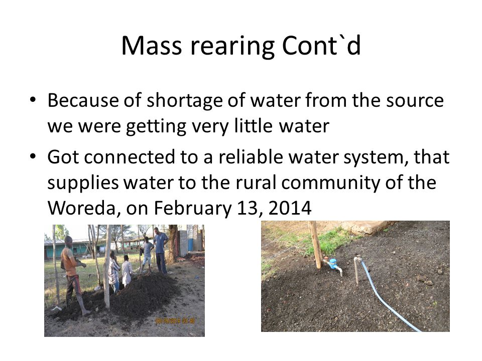 Mass rearing Cont`d Because of shortage of water from the source we were getting very little water.