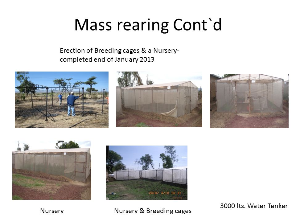 Mass rearing Cont`d Erection of Breeding cages & a Nursery- completed end of January 2013.