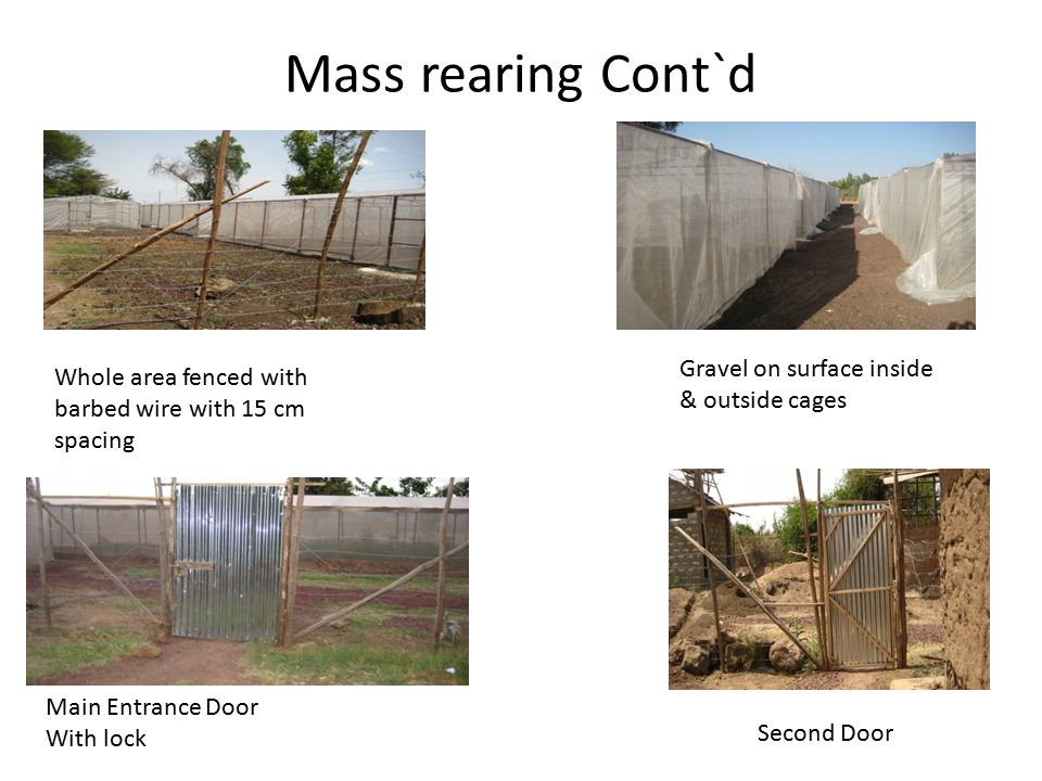 Mass rearing Cont`d Gravel on surface inside