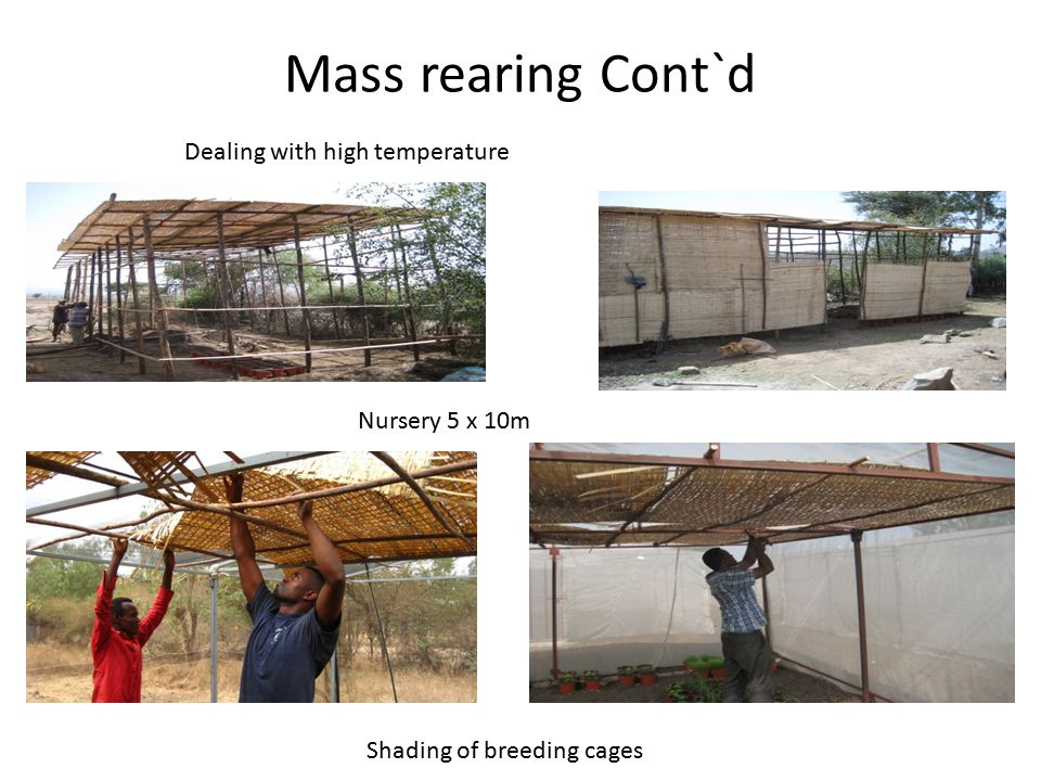 Mass rearing Cont`d Dealing with high temperature Nursery 5 x 10m