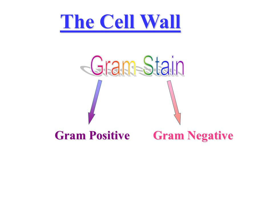 The Cell Wall Gram Stain Gram Positive Gram Negative