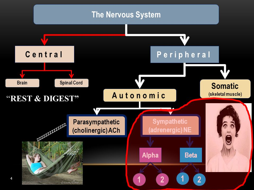 The Nervous System Central Peripheral Somatic Autonomic