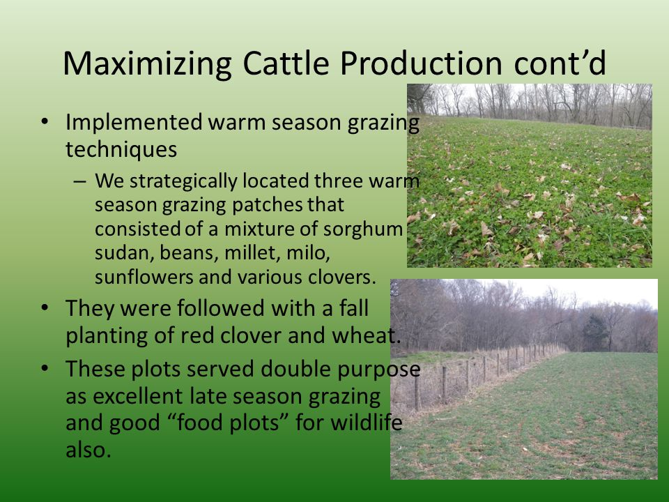 Maximizing Cattle Production cont'd