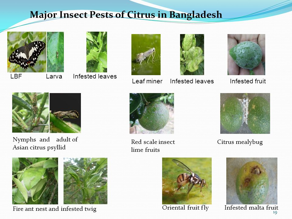Major Insect Pests of Citrus in Bangladesh