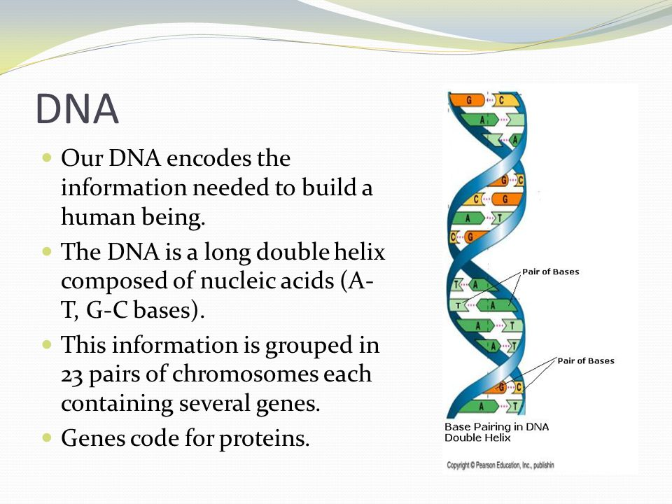 DNA Our DNA encodes the information needed to build a human being.