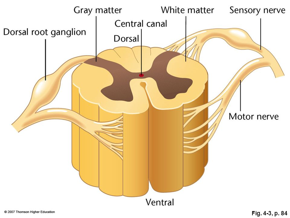 Figure 4.3: Diagram of a cross-section through the spinal cord.