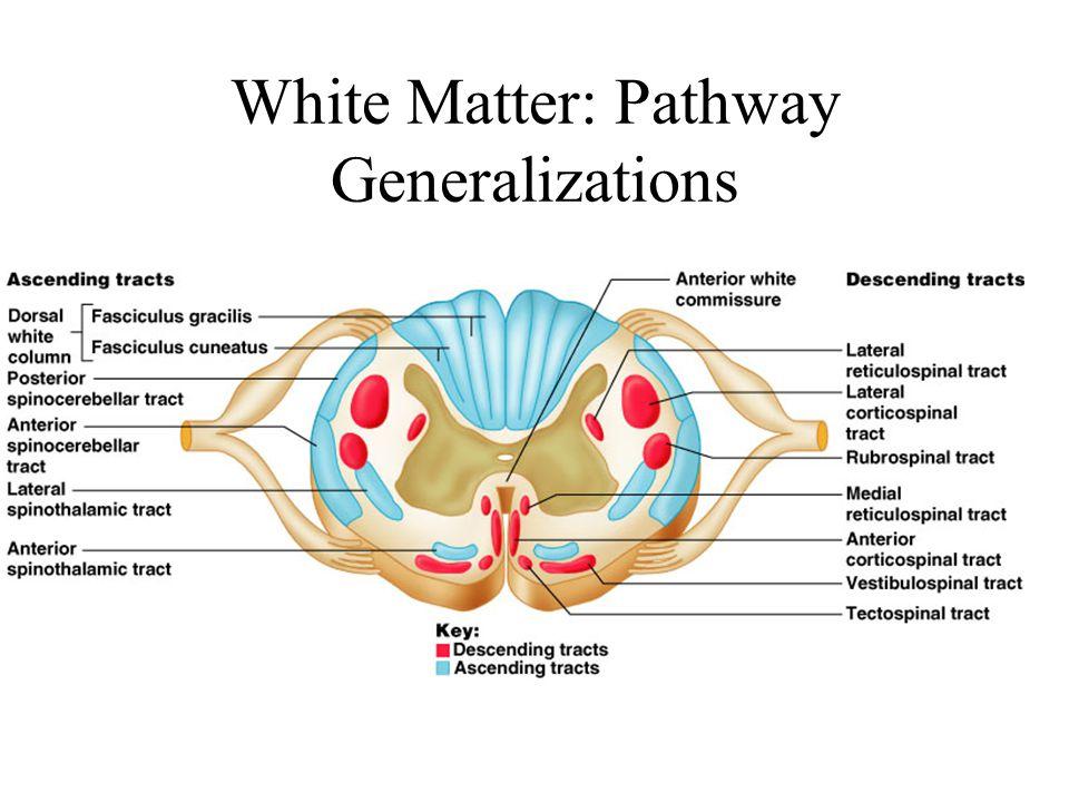 White Matter: Pathway Generalizations